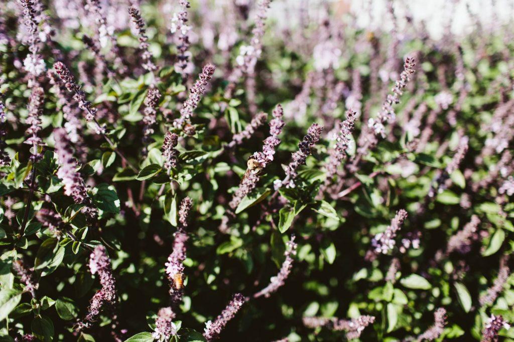 fresh lavender bushes, farm-to-table eating