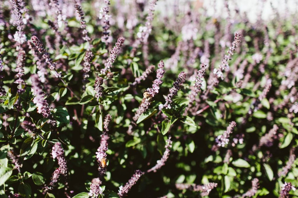 fresh lavender bushes, farm-to-table eating