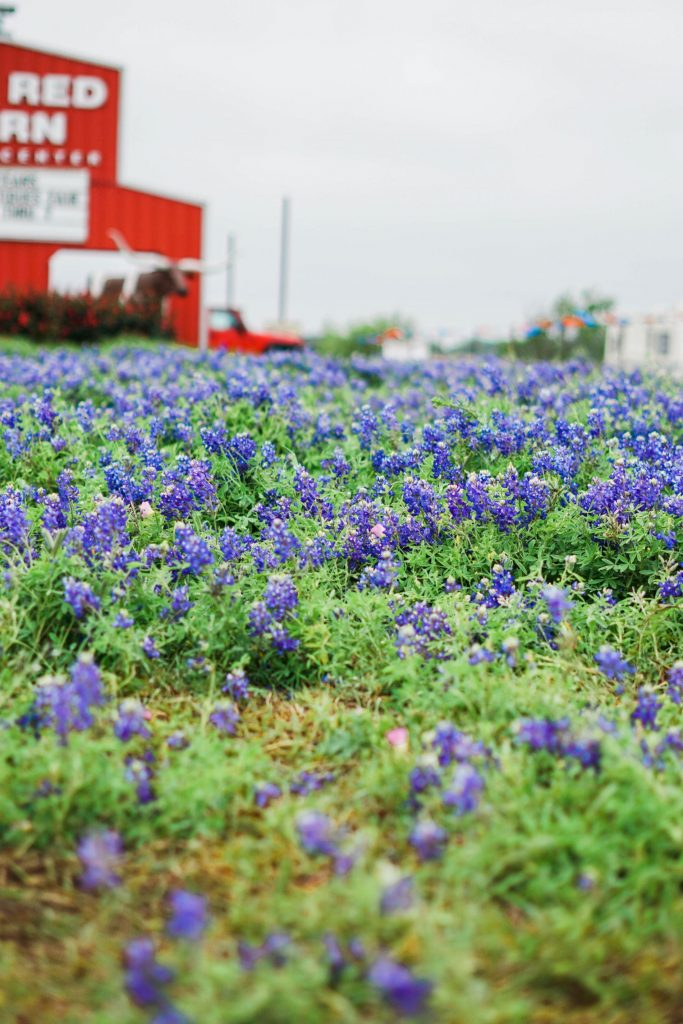 Texas bluebonnets, Round, Top