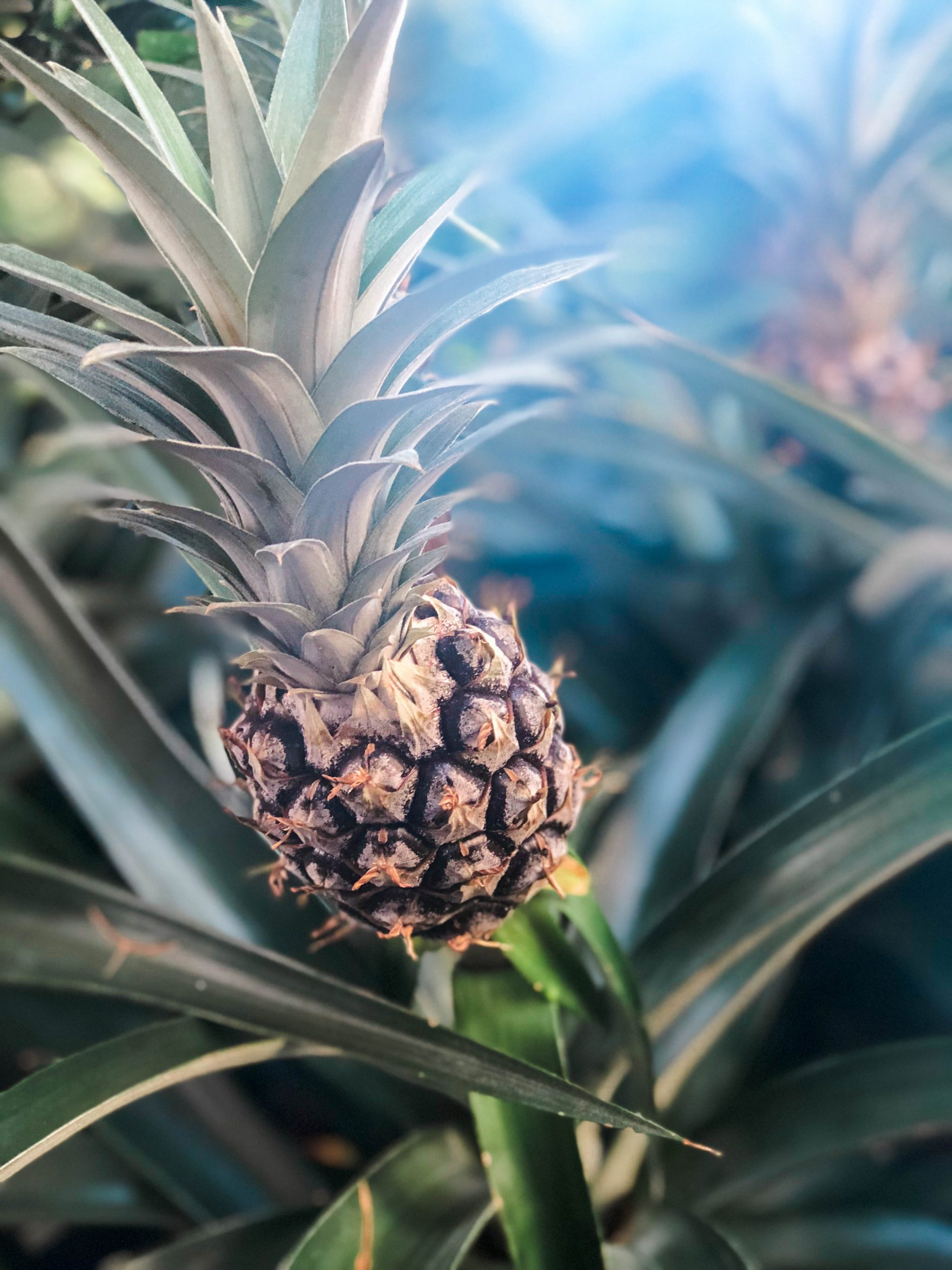 local Maui pineapple plants