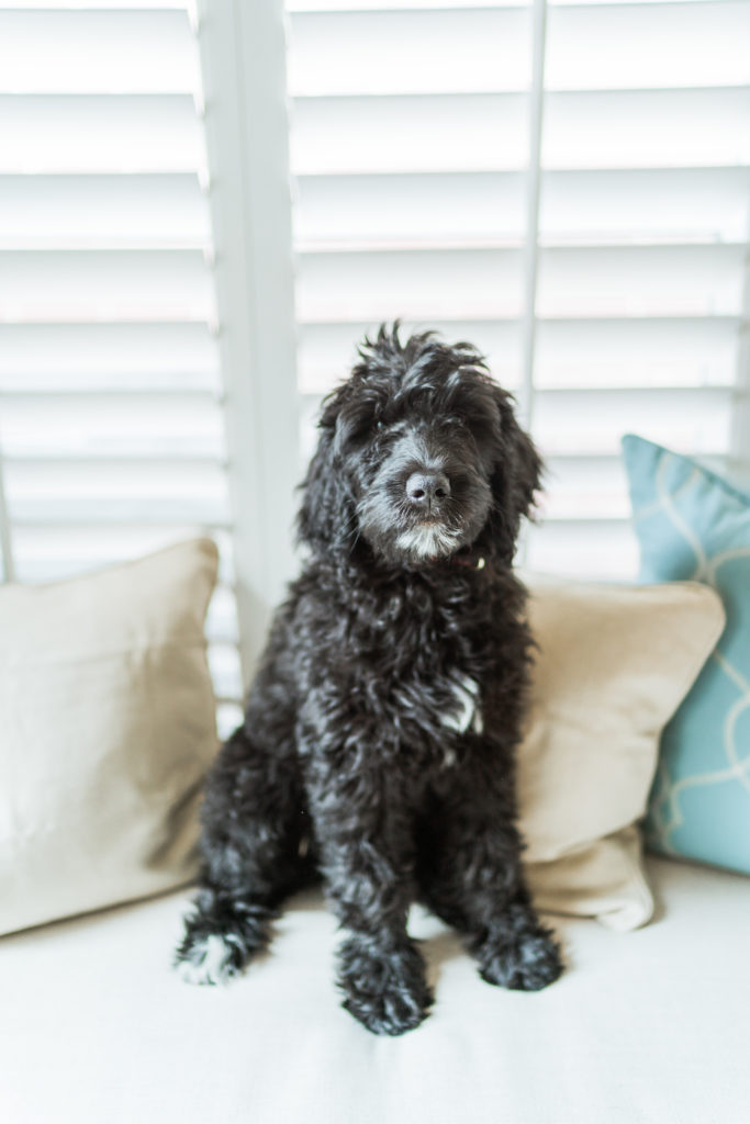 Black F1B Goldendoodle puppy | Adored by Alex